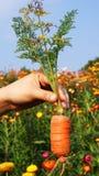 Zanahorias a disposición Foto de archivo
