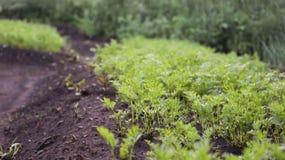 Zanahorias en el jardín Fotos de archivo