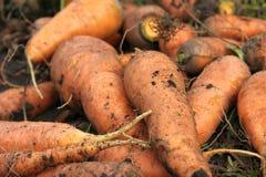 Zanahorias en el jardín Imágenes de archivo libres de regalías