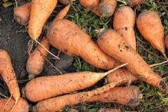 Zanahorias en el jardín Imagen de archivo libre de regalías