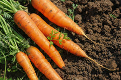 Zanahorias en el jardín Fotografía de archivo libre de regalías