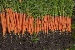 Zanahorias en la cama Foto de archivo