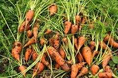 Zanahorias en la tierra Foto de archivo libre de regalías