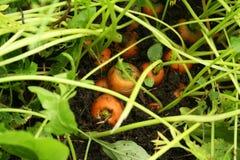 Zanahorias en la tierra Fotos de archivo
