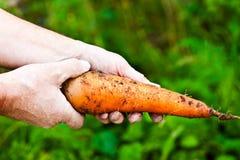 Zanahorias en manos humanas Imagenes de archivo