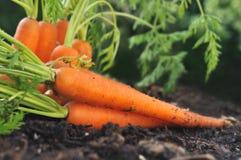 Zanahorias en suelo del jardín Imágenes de archivo libres de regalías
