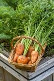 Zanahorias en una cesta Imágenes de archivo libres de regalías