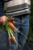 Zanahorias escogidas frescas Imagen de archivo