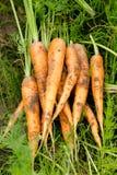 Zanahorias escogidas frescas cerca encima de fondos Imagen de archivo