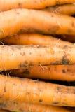 Zanahorias escogidas frescas cerca encima de fondos Imágenes de archivo libres de regalías