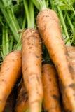 Zanahorias escogidas frescas cerca encima de fondos Foto de archivo libre de regalías