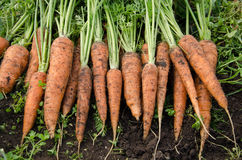 Zanahorias frescas Fotografía de archivo libre de regalías