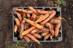 Zanahorias frescas en la caja Fotografía de archivo