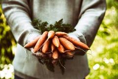 Zanahorias frescas en manos de los granjeros Fotografía de archivo