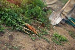 Zanahorias frescas escogidas del jardín Imagen de archivo libre de regalías
