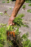Zanahorias frescas frescas Imágenes de archivo libres de regalías
