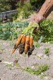 Zanahorias frescas frescas de un campo de granja Fotos de archivo libres de regalías
