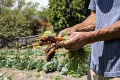 Zanahorias frescas frescas de un campo de granja Fotos de archivo