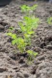 Zanahorias jovenes que crecen en el sol Fotos de archivo