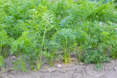 Zanahorias jovenes que crecen en jardín ecológico Foto de archivo libre de regalías