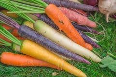 Zanahorias Las zanahorias recientemente escogidas de cosecha propia orgánicas en colores anaranjados, púrpuras, y blancos vivos e Foto de archivo libre de regalías