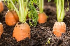 Zanahorias mojadas en la suciedad Fotografía de archivo libre de regalías