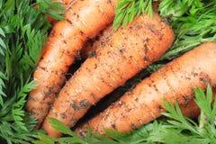 Zanahorias orgánicas Imágenes de archivo libres de regalías