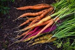 Zanahorias orgánicas Imagenes de archivo