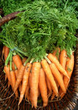 Zanahorias orgánicas Fotografía de archivo