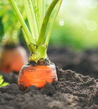 Zanahorias orgánicas. Crecimiento de la zanahoria Imagen de archivo