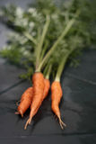 Zanahorias orgánicas frescas Fotografía de archivo