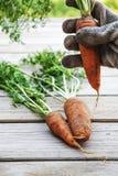 Zanahorias orgánicas frescas con suciedad en manos Fotos de archivo