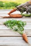 Zanahorias orgánicas frescas con suciedad en manos Fotos de archivo libres de regalías
