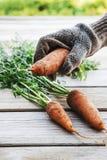 Zanahorias orgánicas frescas con suciedad en manos Foto de archivo libre de regalías