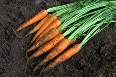 Zanahorias orgánicas frescas de la nueva cosecha en suelo Imagen de archivo