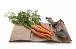Zanahorias orgánicas recientemente escogidas Imágenes de archivo libres de regalías