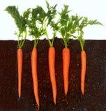 Zanahorias que crecen en suelo Imagen de archivo libre de regalías
