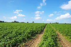 Zanahorias que crecen en un campo Fotografía de archivo