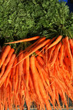 Zanahorias recién cosechadas Fotos de archivo libres de regalías