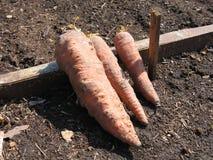 Zanahorias viejas El huerto Imagen de archivo libre de regalías