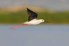 Zanco con alas negro Fotos de archivo