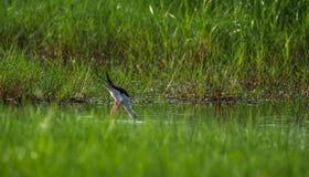 Zanco con alas negro en busca de la comida Imágenes de archivo libres de regalías