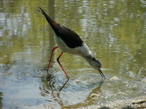 zanco Negro-con alas 1 Fotografía de archivo