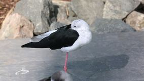 zanco Negro-con alas almacen de metraje de vídeo