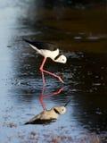 zanco Negro-con alas Imagen de archivo libre de regalías