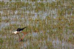 zanco Negro-con alas Foto de archivo libre de regalías