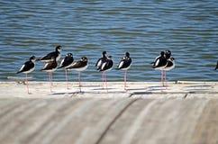 Zancos Negro-Necked (mexicanus del Himantopus) Imagenes de archivo