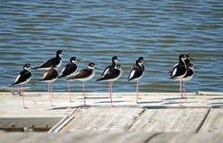 Zancos Negro-Necked (mexicanus del Himantopus) Imagen de archivo libre de regalías