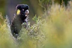 Zanda funerea - Guling-tailed svart kakadua i Australien Royaltyfri Bild