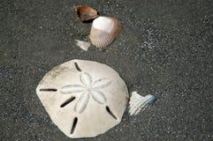 Zanddollar op het Strand van het Stiereneiland Stock Fotografie